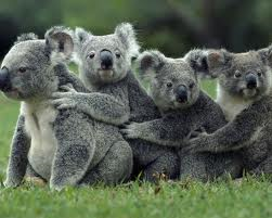 Koala bear group